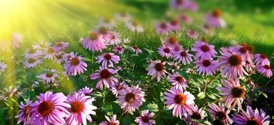 pink flowers with sun