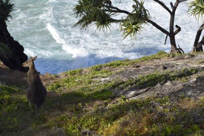 kangaroos at point lookout